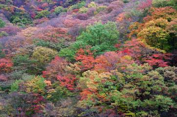 japanese_autmun_leaf_tree