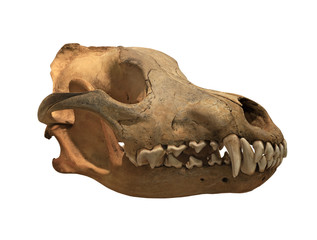 Ancient skull wolf on a white background, isolated
