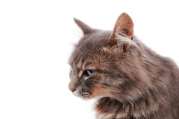 Beautiful grey cat isolated on white background