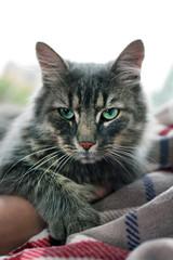 Beautiful grey cat lying on blanket near window, close up
