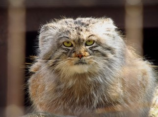 portrait of fluffy manul in the cage