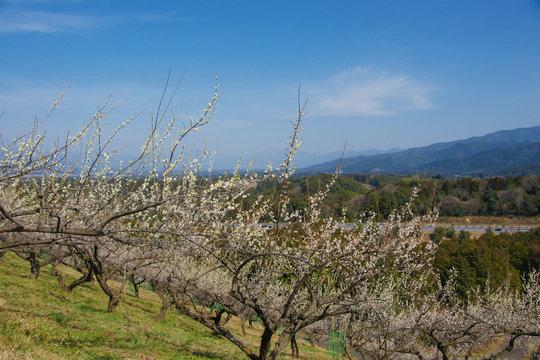 花の咲いた梅林と空