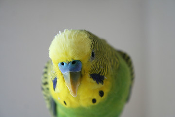 Green and yellow male parakeet looking into camera lens stock photo