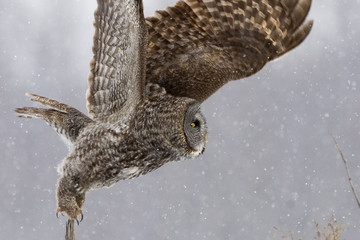 Great Gray Owl, Strix nebulosa, take off from perch