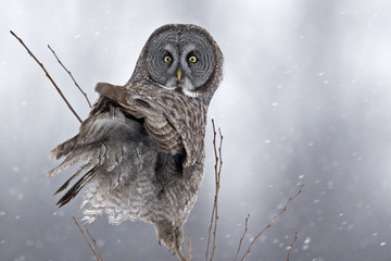 Great Gray Owl, Strix nebulosa, looking back at viewer