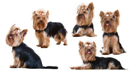 Set of Funny Yorkshire Terriers