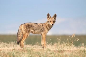 Fotoväggar - Western Coyote