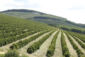 Farm coffee plantation in Brazil