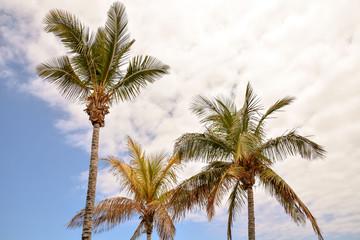 Green Palm Canarian Tree
