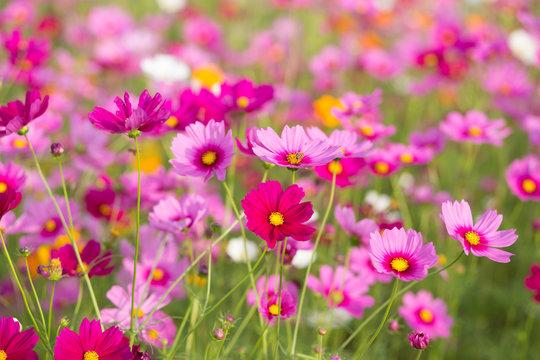 Pink cosmos flower fields