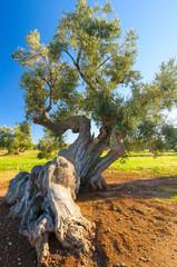 Ulivo secolare Puglia numero di serie 009361