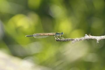 dragonfly,fly catcher