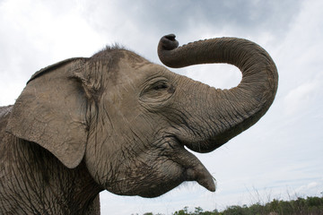 Portrait of an Asian elephant. Indonesia. Sumatra. Way Kambas National Park. An excellent illustration.