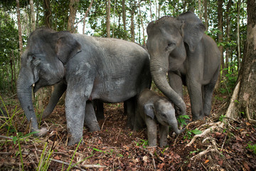 Three Asian elephants in the jungle. Indonesia. Sumatra. Way Kambas National Park. An excellent illustration.