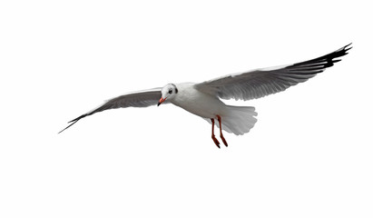 flying seagull bird isolated on white