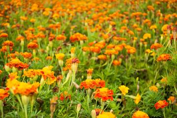 Beautiful glade of orange flowers