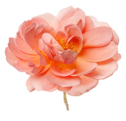 Peach Rose in Vase Isolated