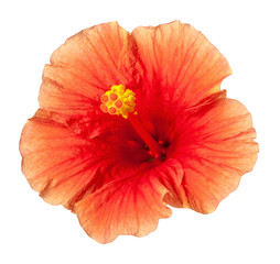 Orange Yellow Hibiscus Tropical Flower Isolated on White Backgro