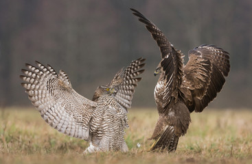 Goshawk and common buzzard