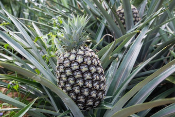 Pineapple garden nature.