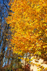Elm tree with lush foliage in fall season. Bright yellow foliage of deciduous tree in autumn.