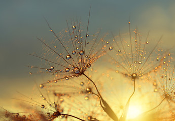 Wall Mural - Dewy dandelion flower at sunrise close up. Natural backgrounds.