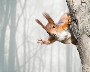 Foto op Aluminium Eekhoorn curious red squirrel siting on tree