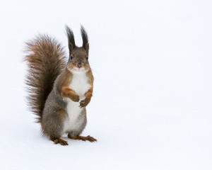 red squirrel posed on snow background