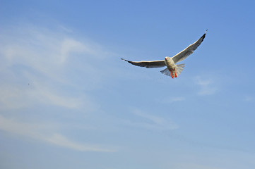 Seagull is flying in the sky