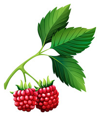 Fresh rasberries with stem