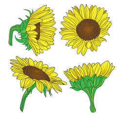 Vector illustration of sunflower.