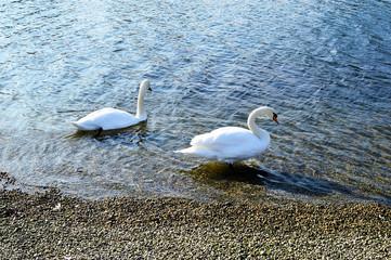 Zwei Schwäne in Ufernähe