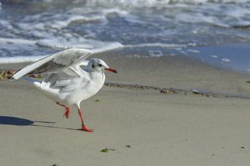 Scamper seagull