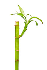 Lucky Bamboo on a white background