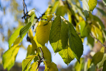 leaves of cherry trees in autumn colors