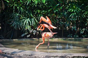 Pink flamingo mating