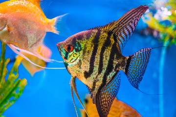 Marbled black and yellow long finned angel fish.