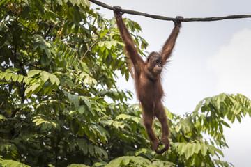 Foto op Canvas Aap Orangutan in the jungle of Borneo Indonesia.