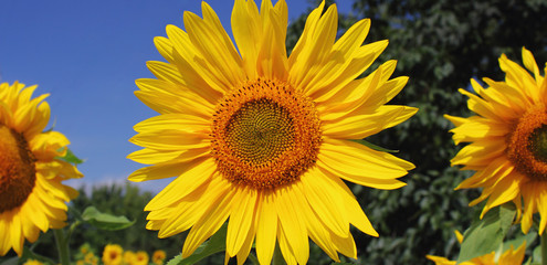 beautiful warm sunflower against the background of grass