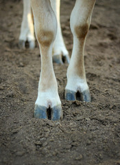 The legs of a cow standing on the ground.