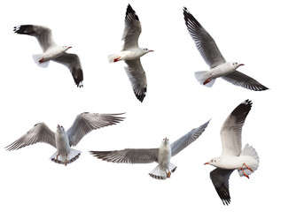 Seagulls on white background
