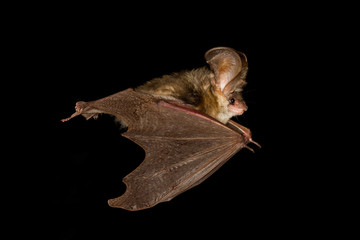 Long-eared bat flying on the dark night
