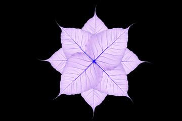 pho or bodhi leaf  texture background
