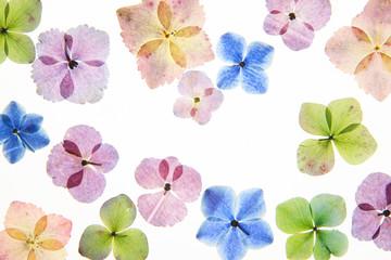 アジサイの押し花