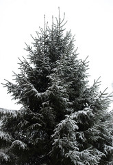spruce tree with snow on branches