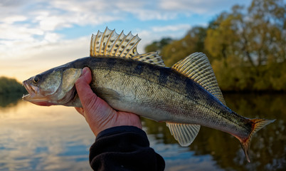 Walleye in fisherman's hand, sunset