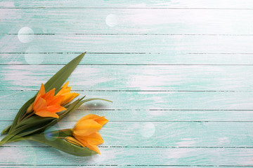 Spring yellow tulips flowers  on turquoise  painted wooden plank
