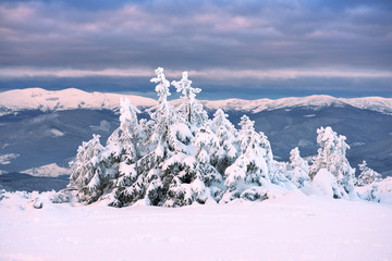 Fir-tree in the snow on a background of mountains