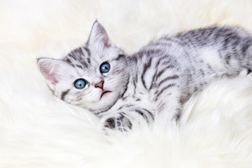 Young silver tabby spotted cat lying on sheep skin