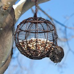 European starling on a round bird feeder filled with peanuts